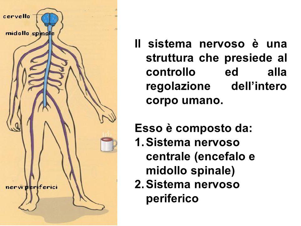Il sistema nervoso è una struttura che presiede al controllo ed alla regolazione dell'intero corpo umano.
