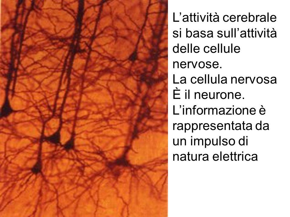 L'attività cerebrale si basa sull'attività delle cellule nervose.