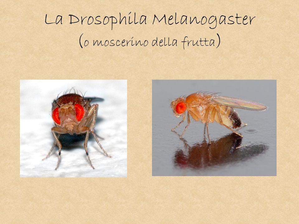 La Drosophila Melanogaster (o moscerino della frutta)