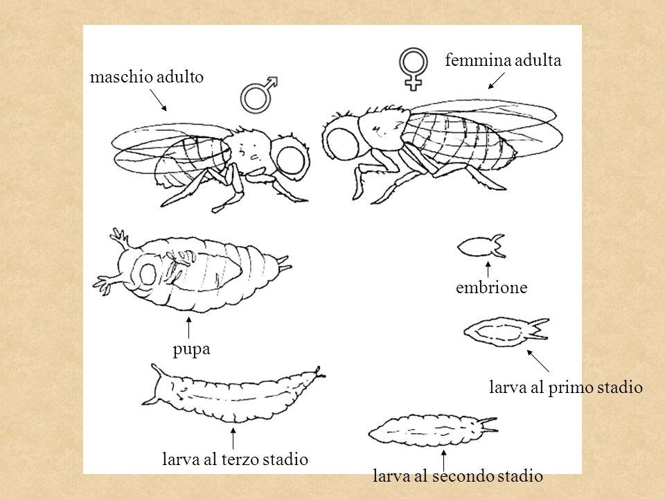 femmina adulta maschio adulto. embrione. pupa.