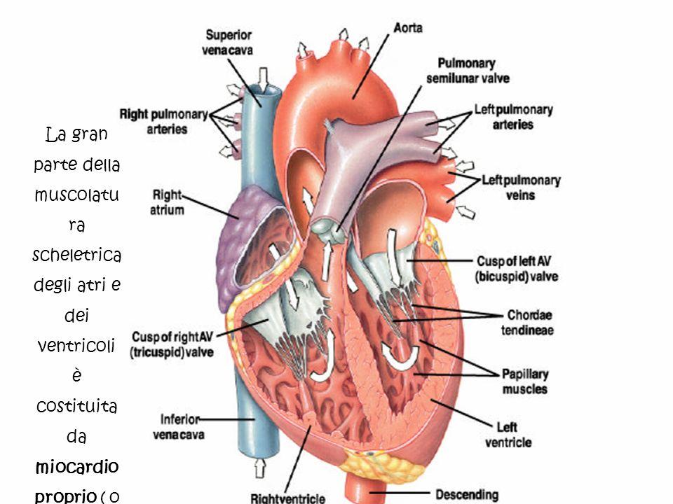 La gran parte della muscolatura scheletrica degli atri e dei ventricoli è costituita da miocardio proprio ( o miocardio di lavoro).