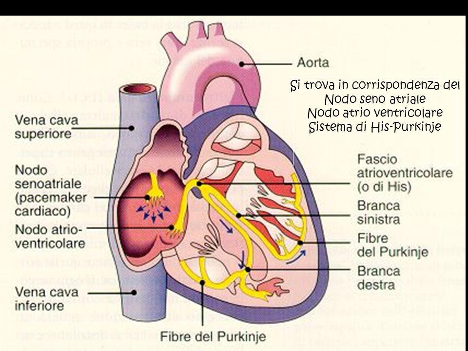 Si trova in corrispondenza del Nodo seno atriale