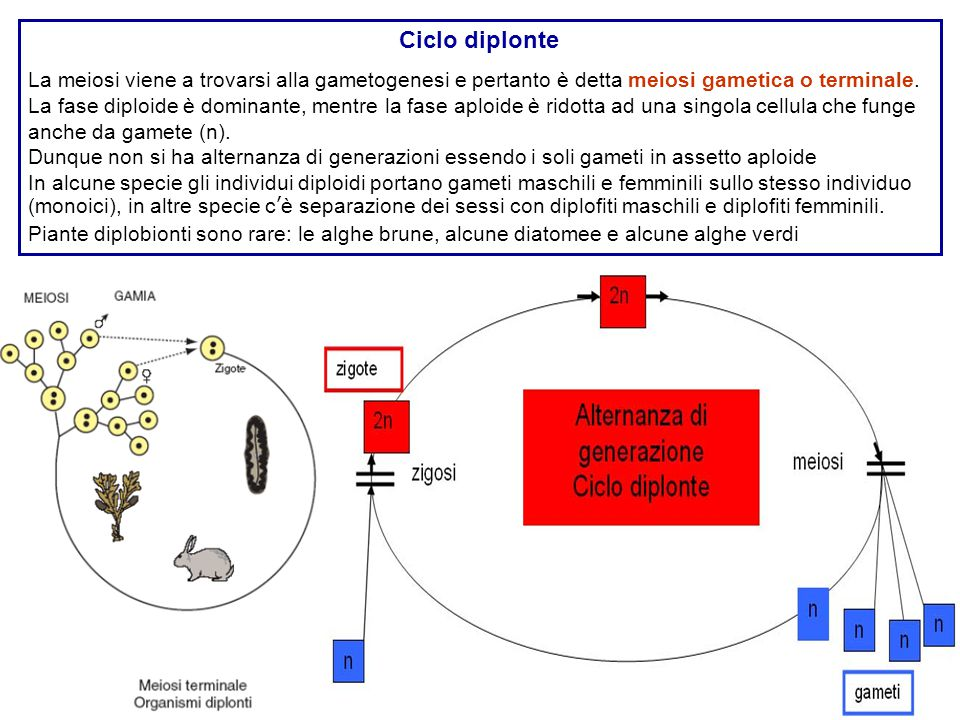 Ciclo diplonte La meiosi viene a trovarsi alla gametogenesi e pertanto è detta meiosi gametica o terminale.