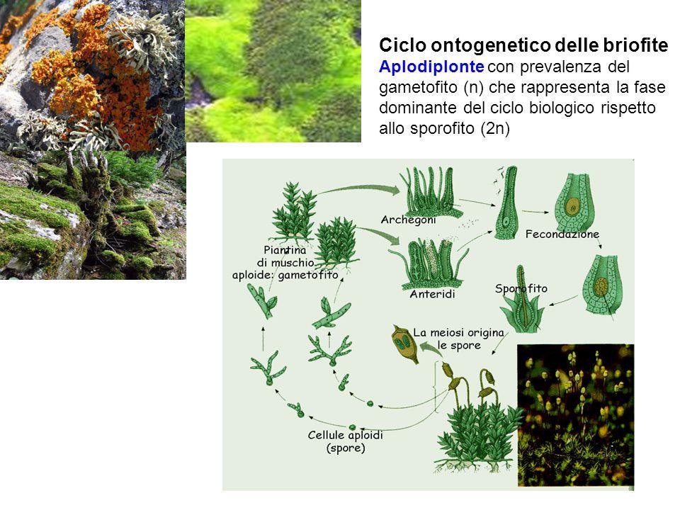 Ciclo ontogenetico delle briofite