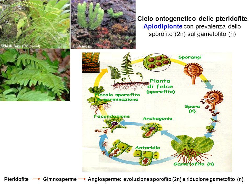 Ciclo ontogenetico delle pteridofite Aplodiplonte con prevalenza dello sporofito (2n) sul gametofito (n)