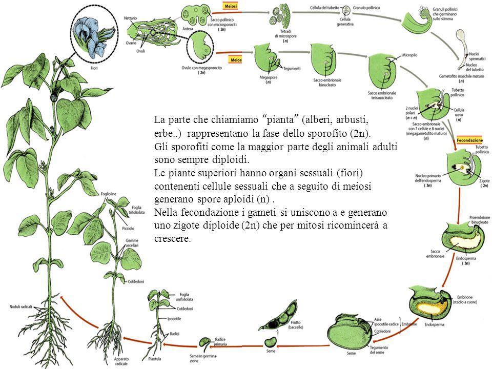 La parte che chiamiamo pianta (alberi, arbusti, erbe
