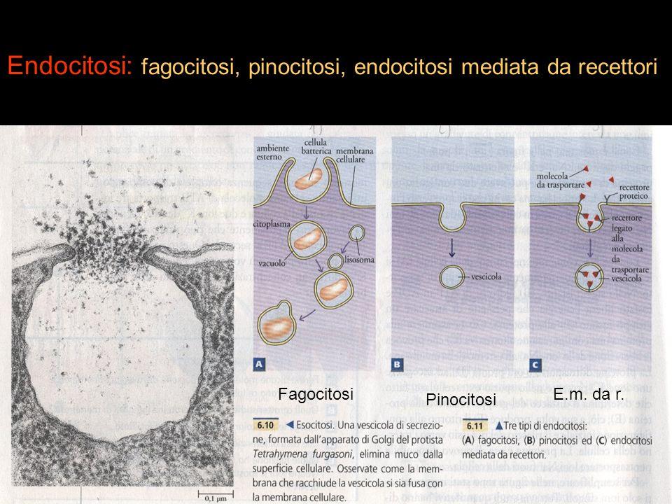 Endocitosi: fagocitosi, pinocitosi, endocitosi mediata da recettori