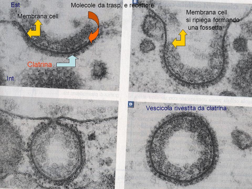 Clatrina Est. Molecole da trasp. e recettore Membrana cell