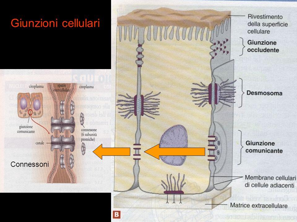 Giunzioni cellulari Connessoni
