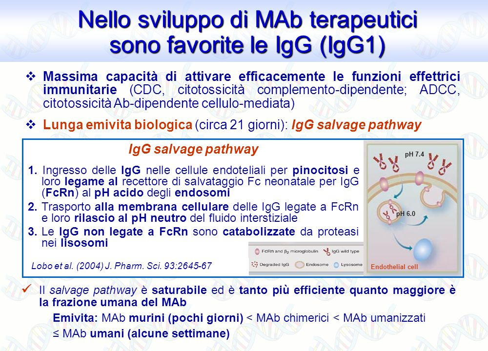 Nello sviluppo di MAb terapeutici sono favorite le IgG (IgG1)
