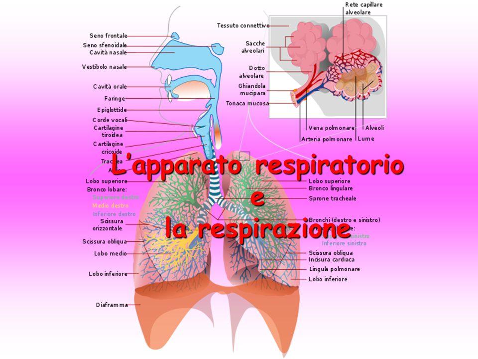 L'apparato respiratorio e la respirazione