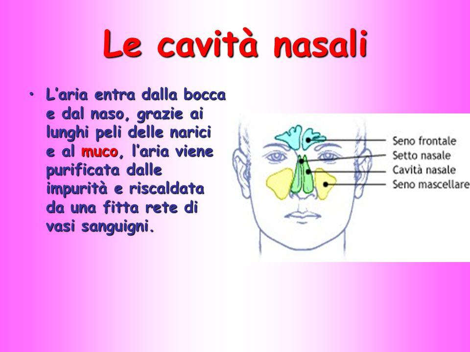 Le cavità nasali