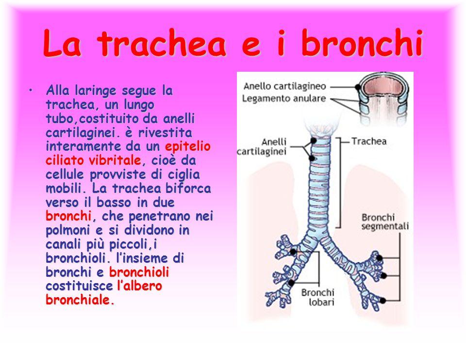 La trachea e i bronchi