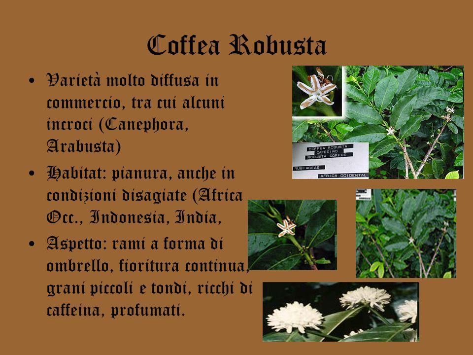 Coffea Robusta Varietà molto diffusa in commercio, tra cui alcuni incroci (Canephora, Arabusta)