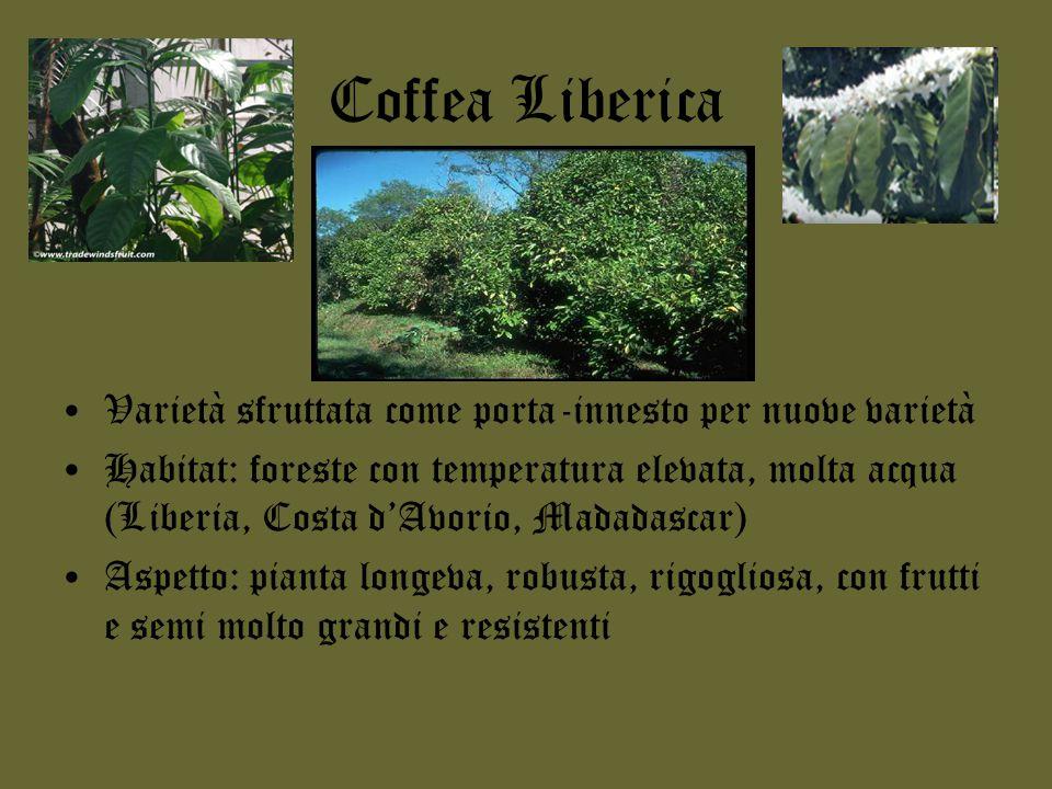 Coffea Liberica Varietà sfruttata come porta-innesto per nuove varietà