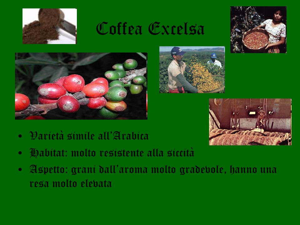 Coffea Excelsa Varietà simile all'Arabica