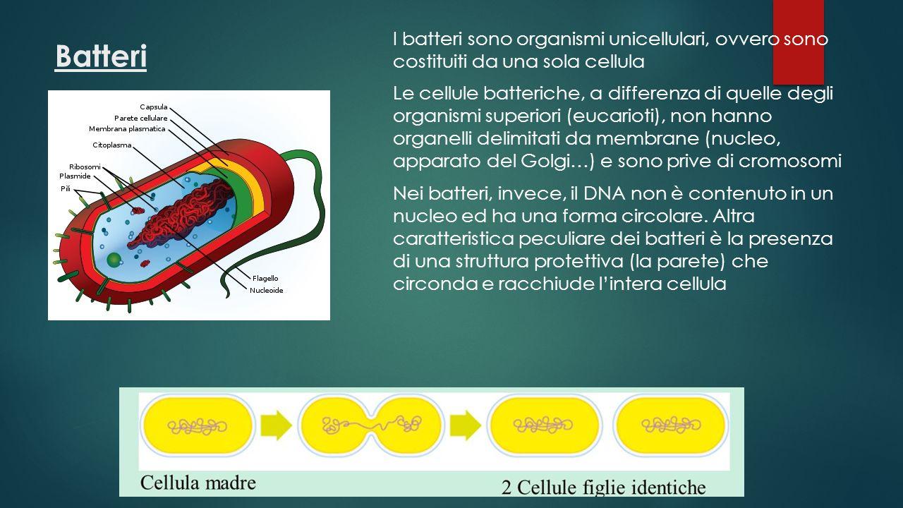 I batteri sono organismi unicellulari, ovvero sono costituiti da una sola cellula Le cellule batteriche, a differenza di quelle degli organismi superiori (eucarioti), non hanno organelli delimitati da membrane (nucleo, apparato del Golgi…) e sono prive di cromosomi Nei batteri, invece, il DNA non è contenuto in un nucleo ed ha una forma circolare. Altra caratteristica peculiare dei batteri è la presenza di una struttura protettiva (la parete) che circonda e racchiude l'intera cellula