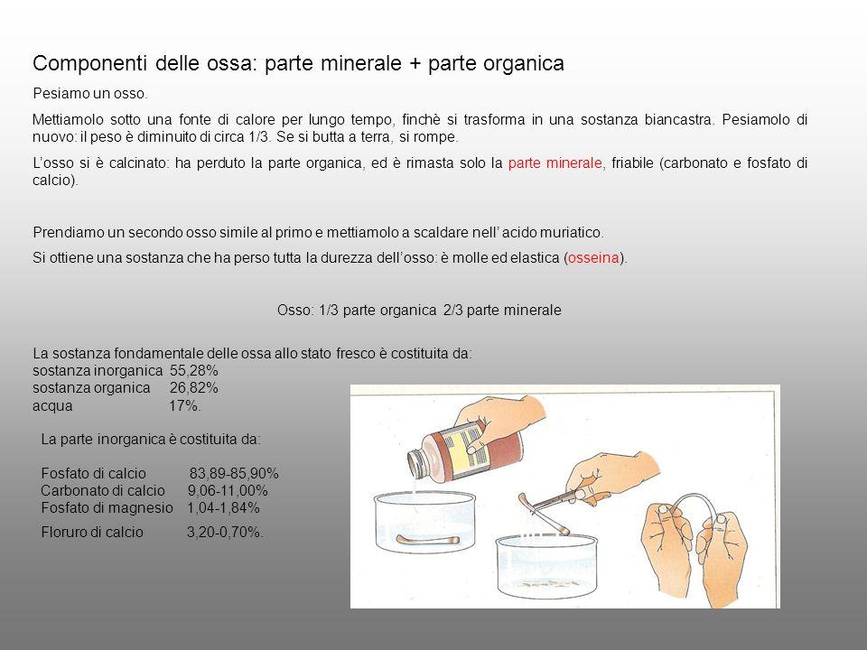 Osso: 1/3 parte organica 2/3 parte minerale