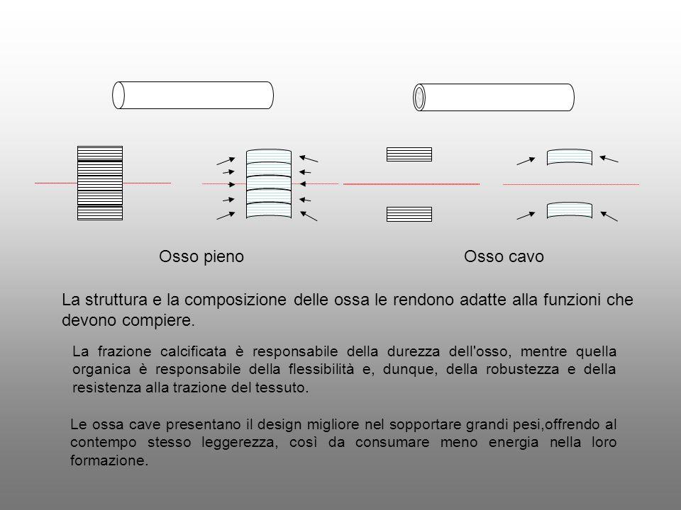 Osso pieno Osso cavo. La struttura e la composizione delle ossa le rendono adatte alla funzioni che devono compiere.