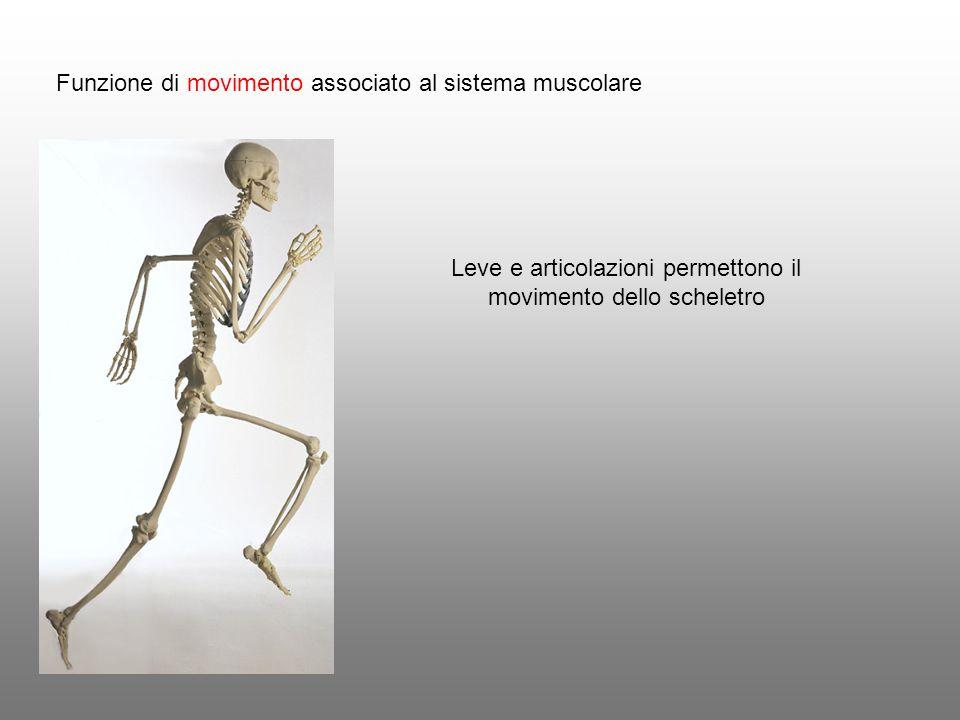 Leve e articolazioni permettono il movimento dello scheletro