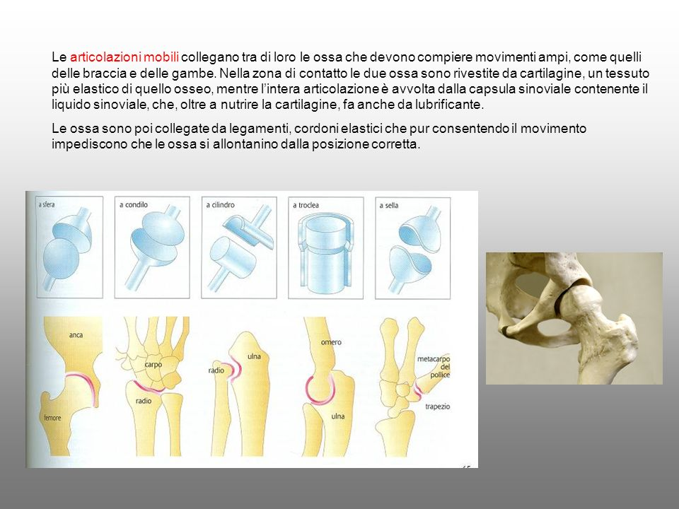 Le articolazioni mobili collegano tra di loro le ossa che devono compiere movimenti ampi, come quelli delle braccia e delle gambe. Nella zona di contatto le due ossa sono rivestite da cartilagine, un tessuto più elastico di quello osseo, mentre l'intera articolazione è avvolta dalla capsula sinoviale contenente il liquido sinoviale, che, oltre a nutrire la cartilagine, fa anche da lubrificante.