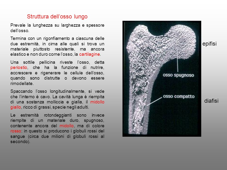 Struttura dell'osso lungo