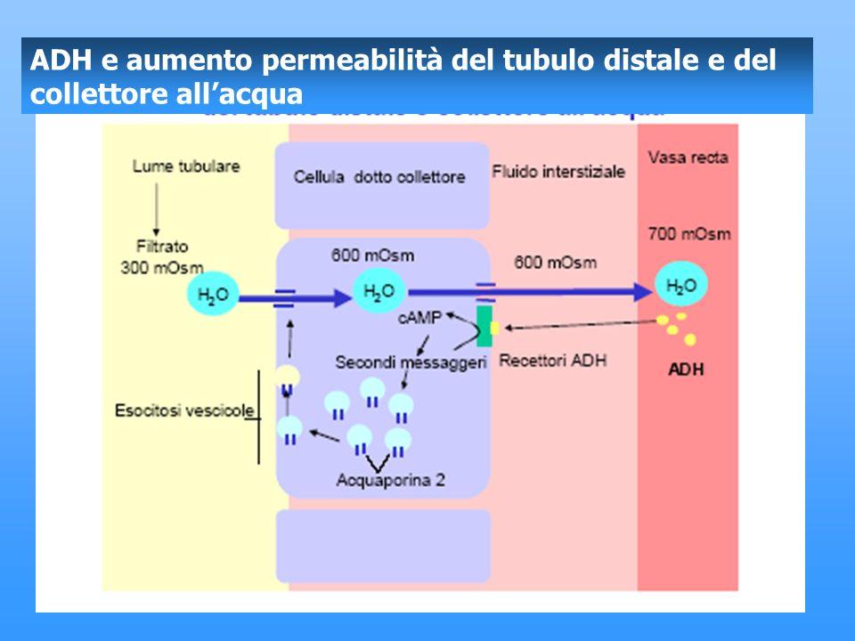 ADH e aumento permeabilità del tubulo distale e del collettore all'acqua