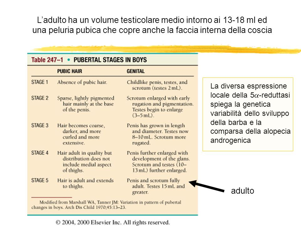 L'adulto ha un volume testicolare medio intorno ai ml ed