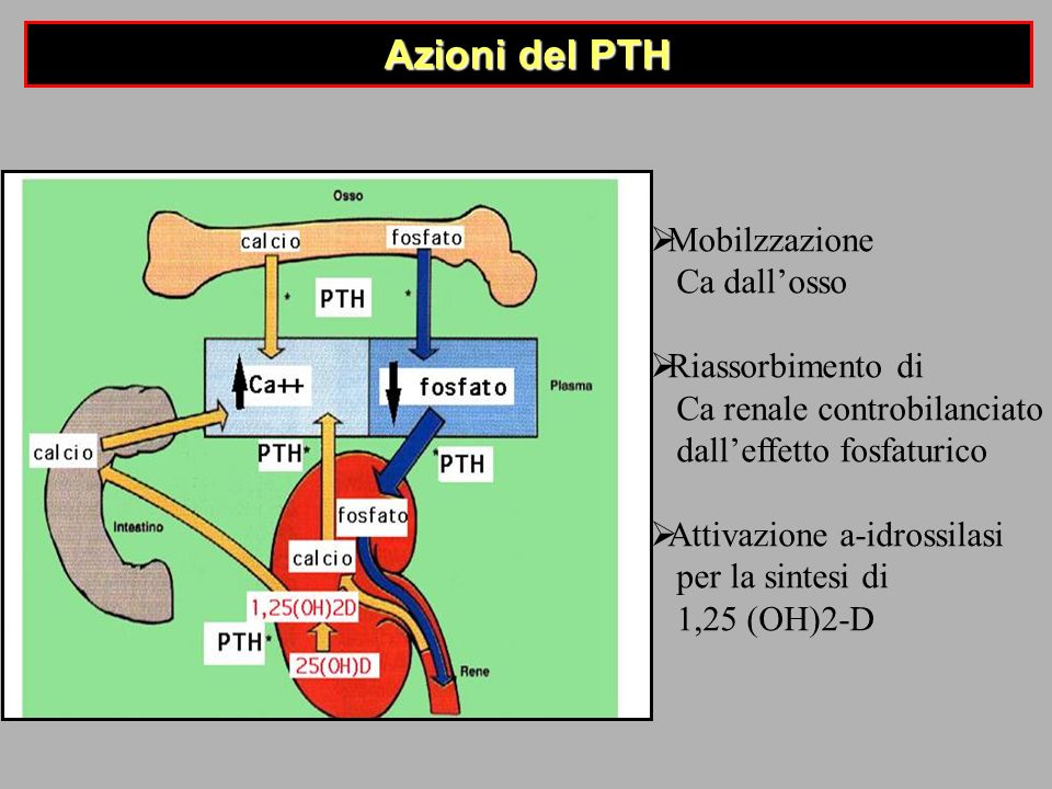 Azioni del PTH Mobilzzazione Ca dall'osso Riassorbimento di