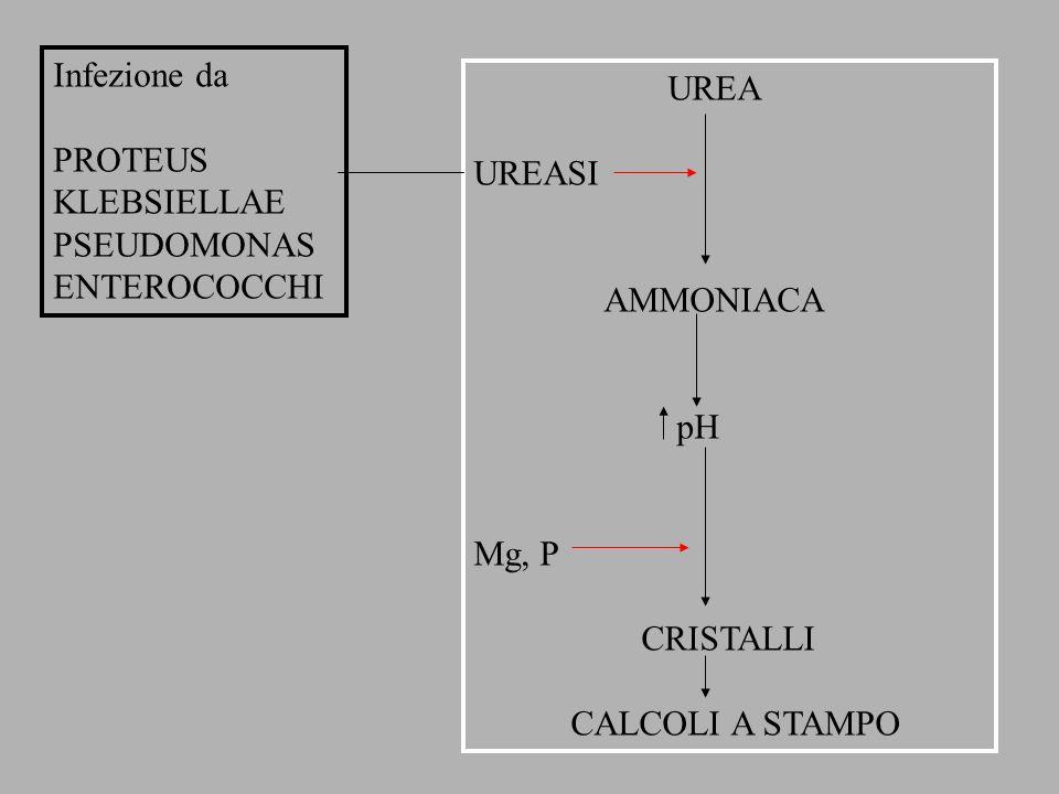 Infezione da PROTEUS. KLEBSIELLAE. PSEUDOMONAS. ENTEROCOCCHI. UREA. UREASI. AMMONIACA. pH. Mg, P.