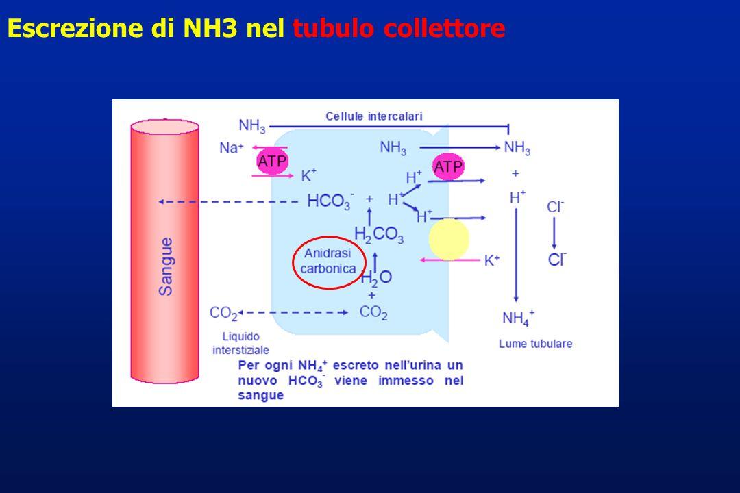 Escrezione di NH3 nel tubulo collettore
