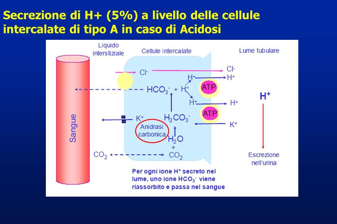 Secrezione di H+ (5%) a livello delle cellule intercalate di tipo A in caso di Acidosi