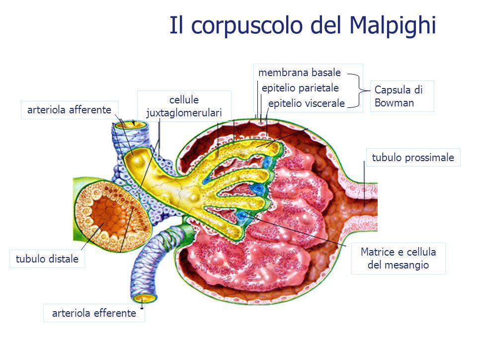 Il corpuscolo del Malpighi