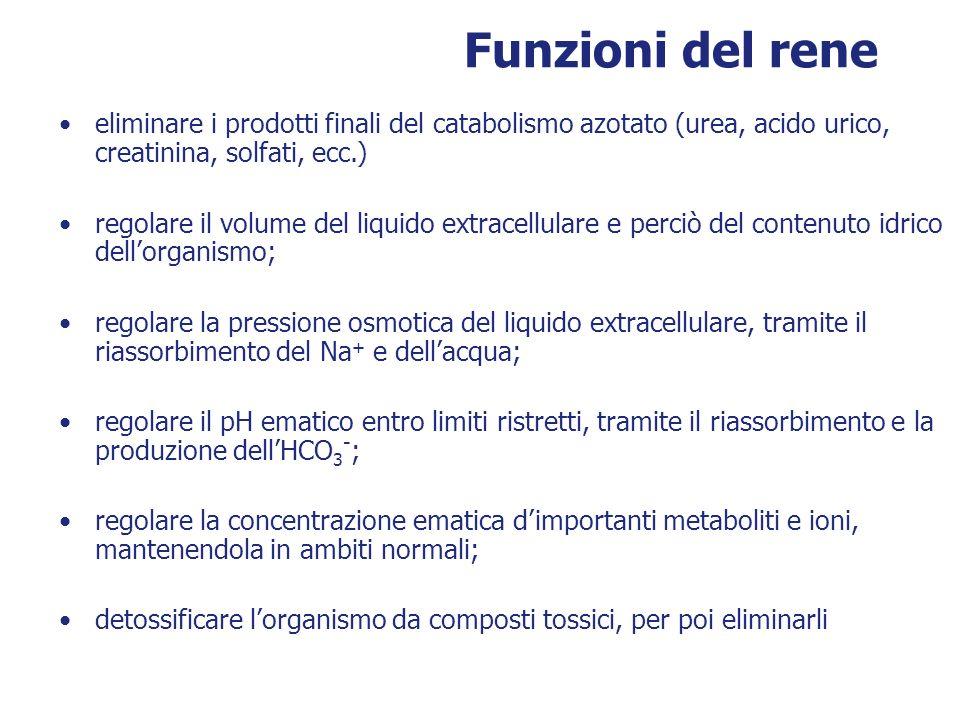 Funzioni del rene eliminare i prodotti finali del catabolismo azotato (urea, acido urico, creatinina, solfati, ecc.)
