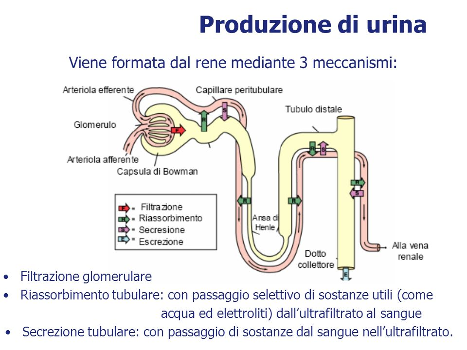 Viene formata dal rene mediante 3 meccanismi: