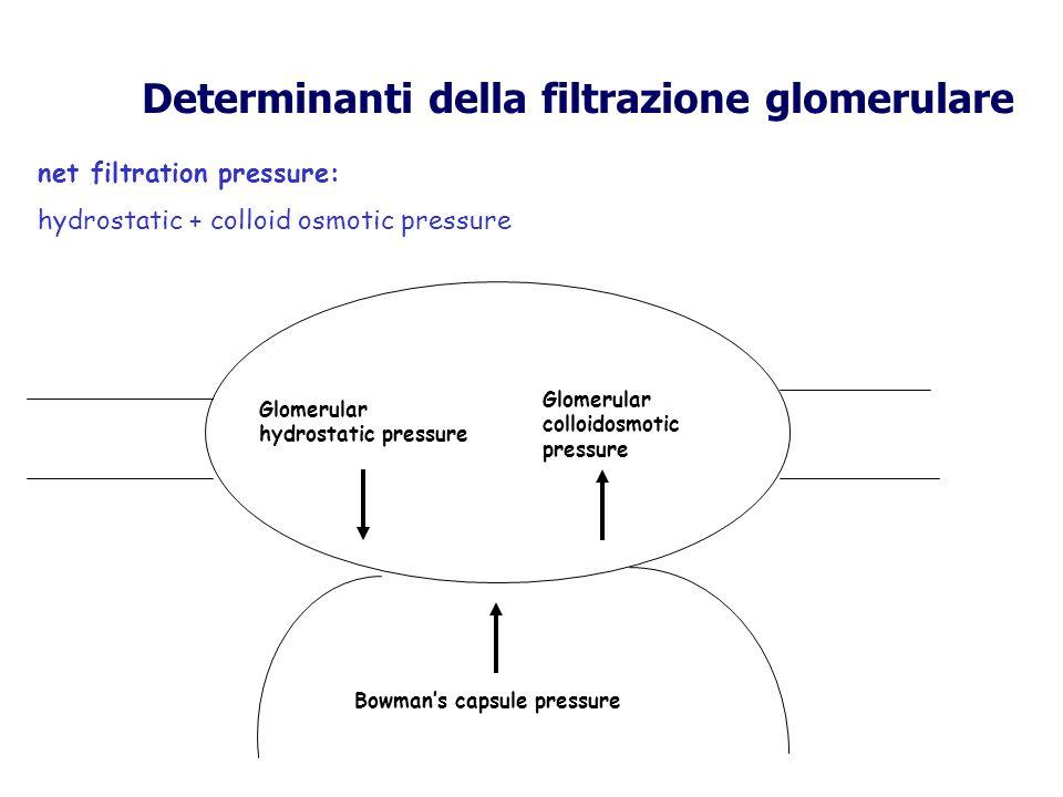 Determinanti della filtrazione glomerulare