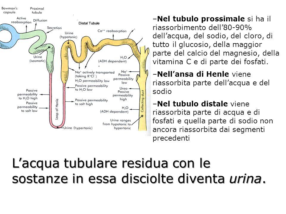 Nel tubulo prossimale si ha il riassorbimento dell'80-90% dell'acqua, del sodio, del cloro, di tutto il glucosio, della maggior parte del calcio del magnesio, della vitamina C e di parte dei fosfati.