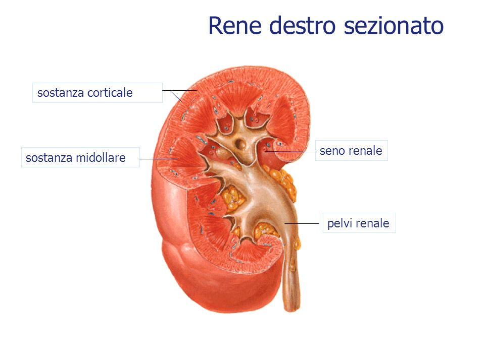 Rene destro sezionato sostanza corticale seno renale