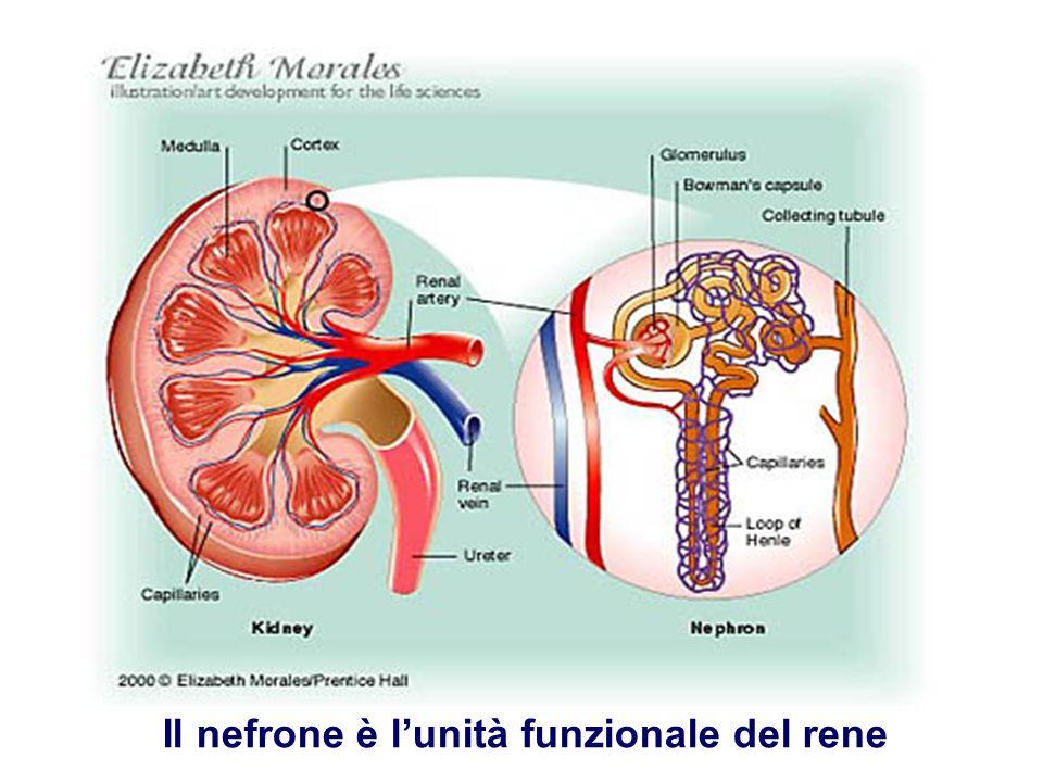 Il nefrone è l'unità funzionale del rene