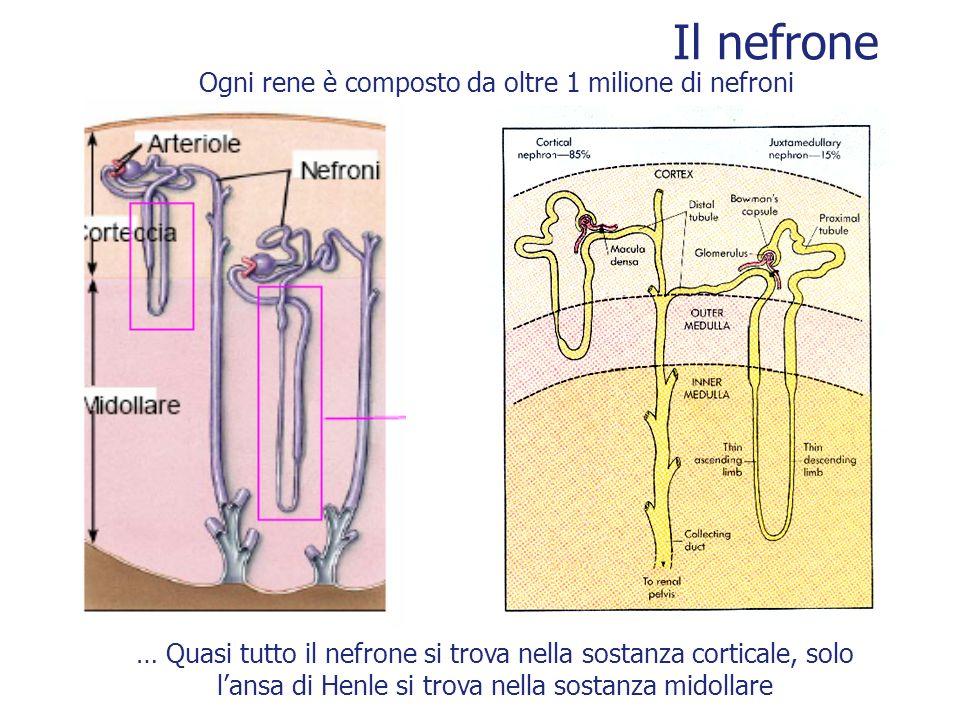 Ogni rene è composto da oltre 1 milione di nefroni