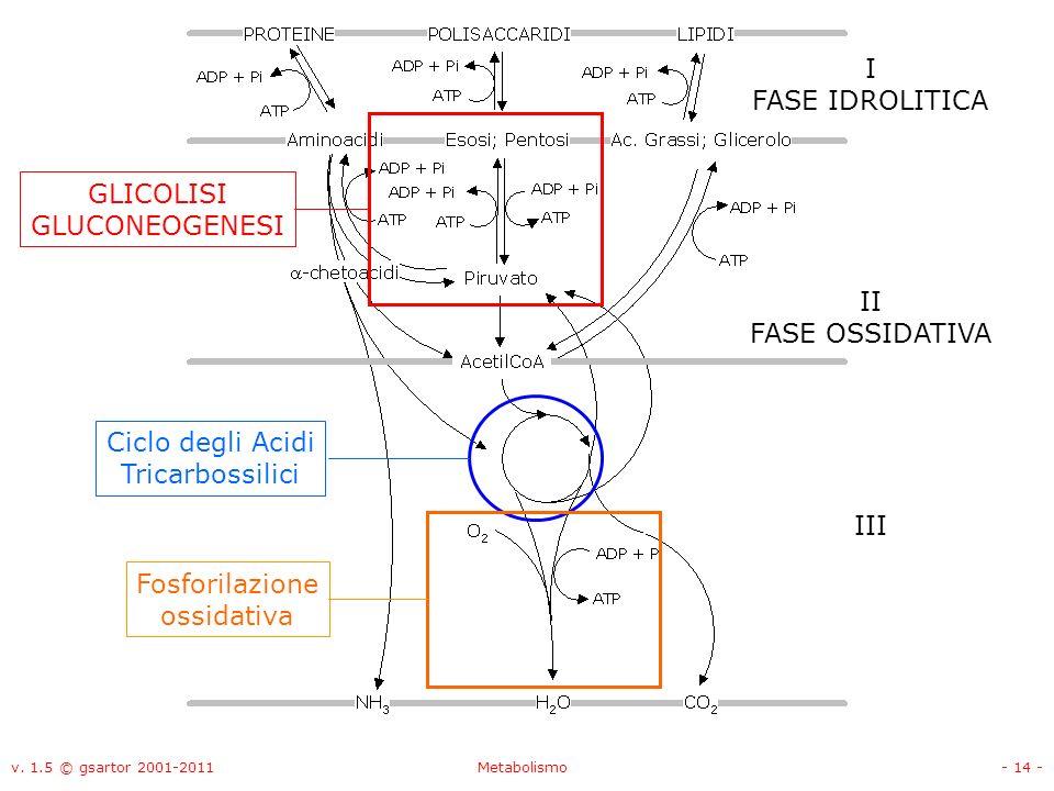 I FASE IDROLITICA GLICOLISI GLUCONEOGENESI II FASE OSSIDATIVA