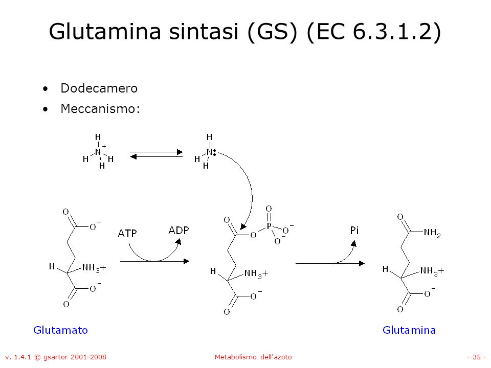 Glutamina sintasi (GS) (EC 6.3.1.2)