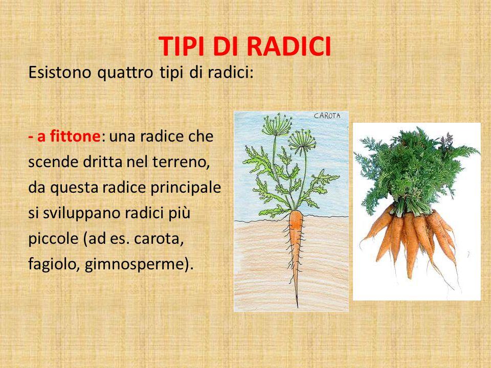 TIPI DI RADICI Esistono quattro tipi di radici: