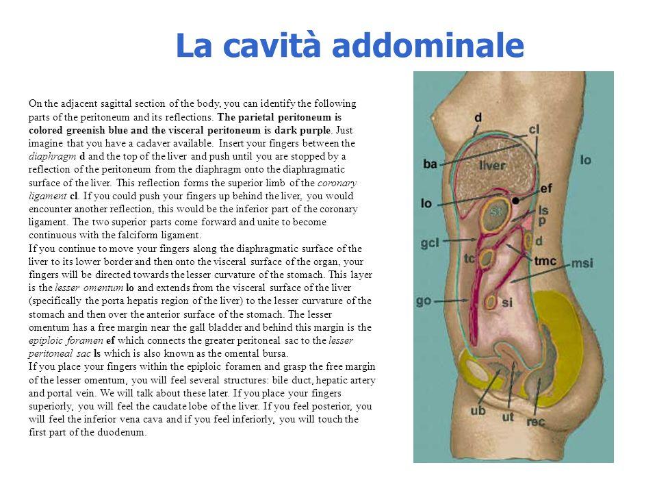 La cavità addominale