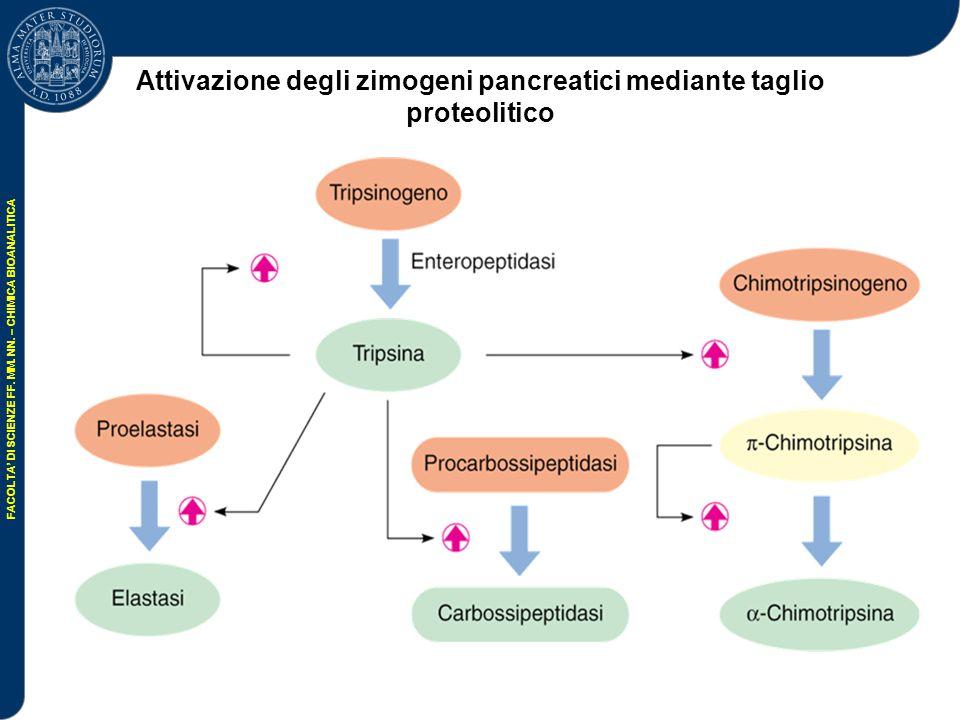 Attivazione degli zimogeni pancreatici mediante taglio proteolitico
