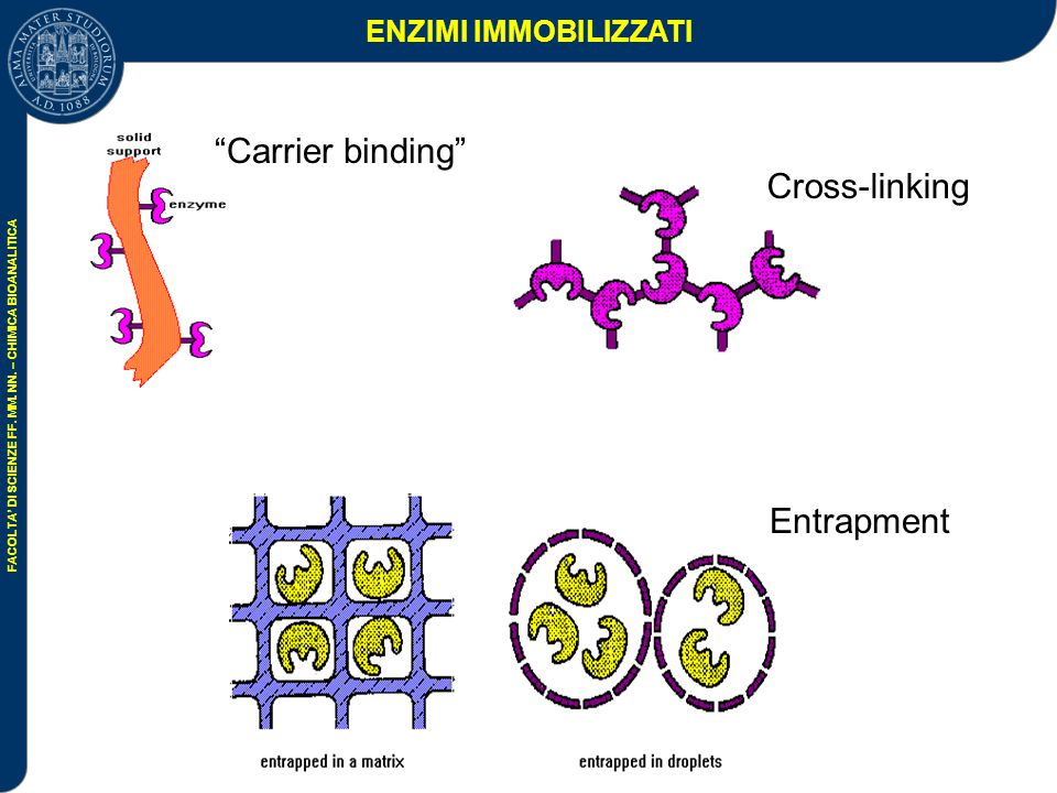 ENZIMI IMMOBILIZZATI Carrier binding Cross-linking Entrapment