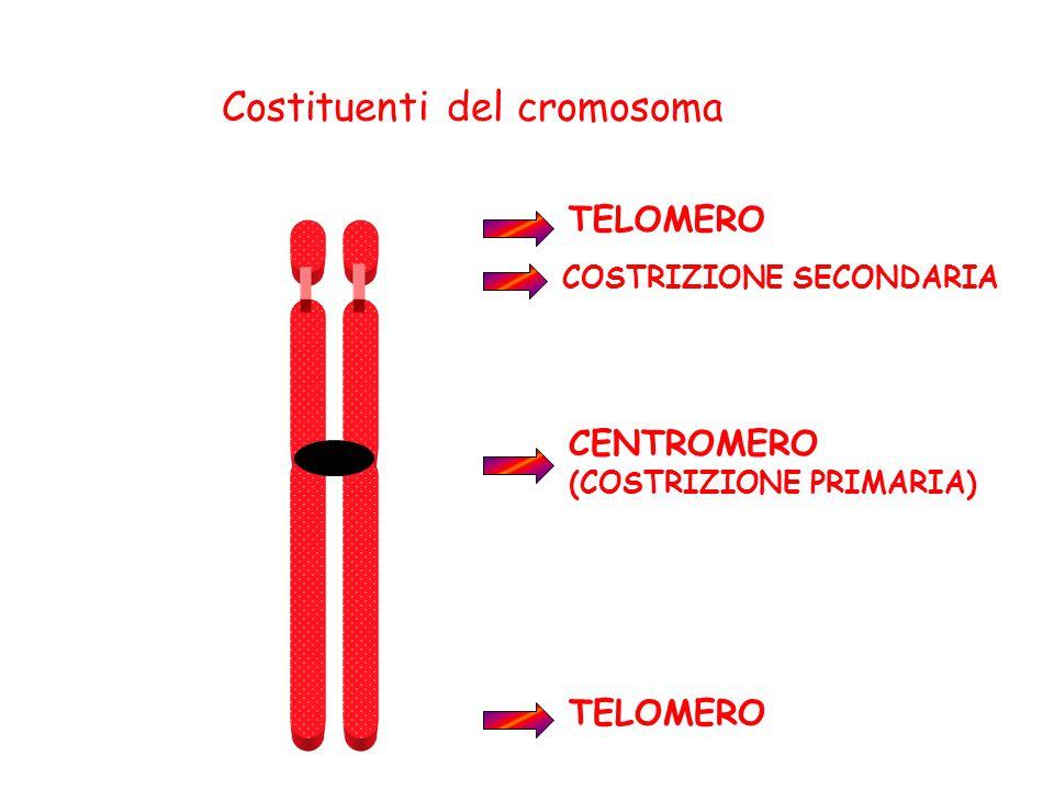 Costituenti del cromosoma