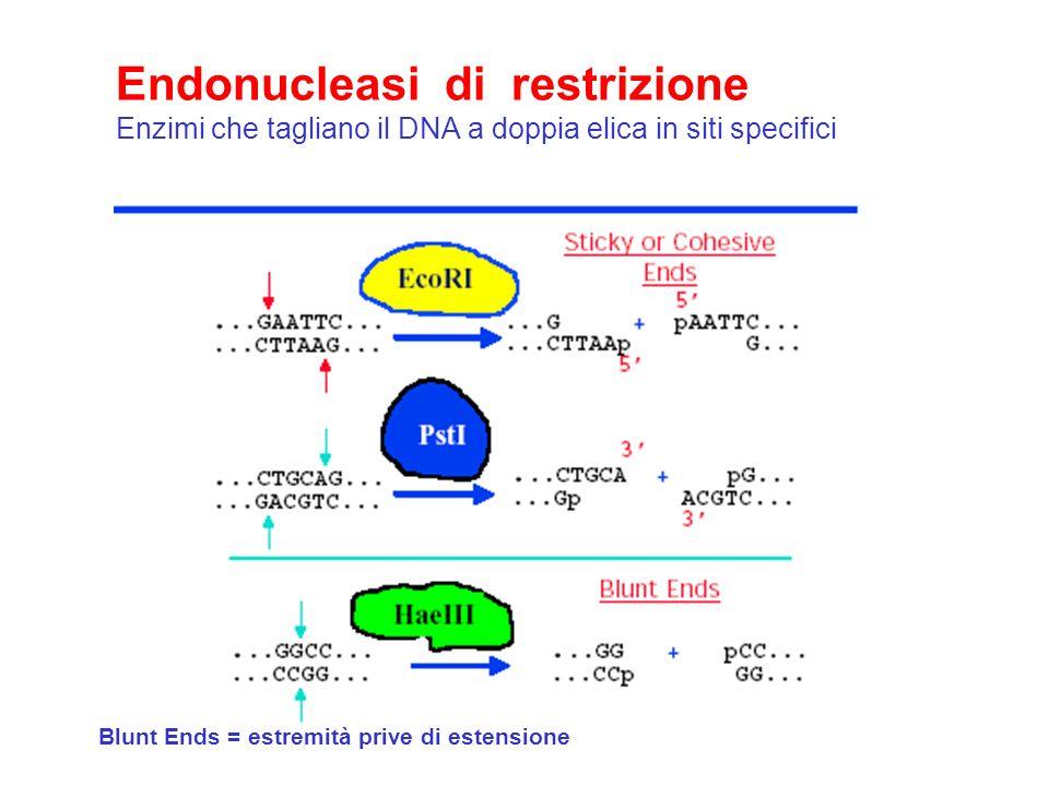 Endonucleasi di restrizione Enzimi che tagliano il DNA a doppia elica in siti specifici