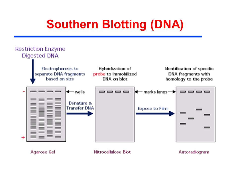 Southern Blotting (DNA)