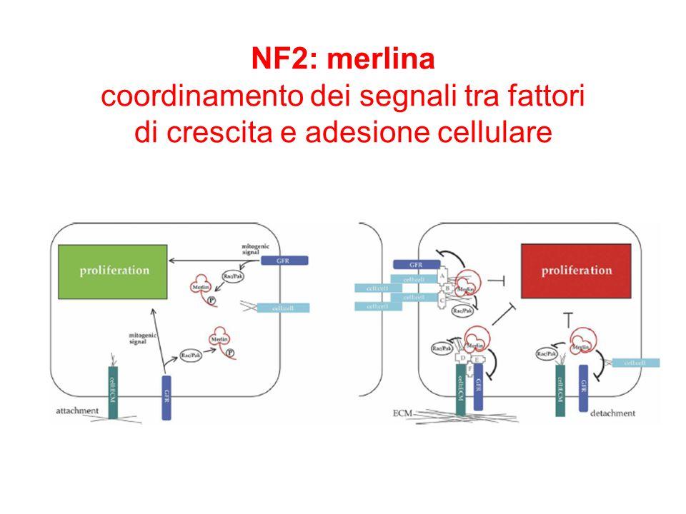 NF2: merlina coordinamento dei segnali tra fattori